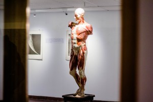 """A skinless model of a human body stands in the Palmer art gallery for the new """"Spark!"""" exhibit. Sponsored by the Biology Department, the exhibit features """"moon prints"""" behind on the back wall. Photo by Sam Pianello"""
